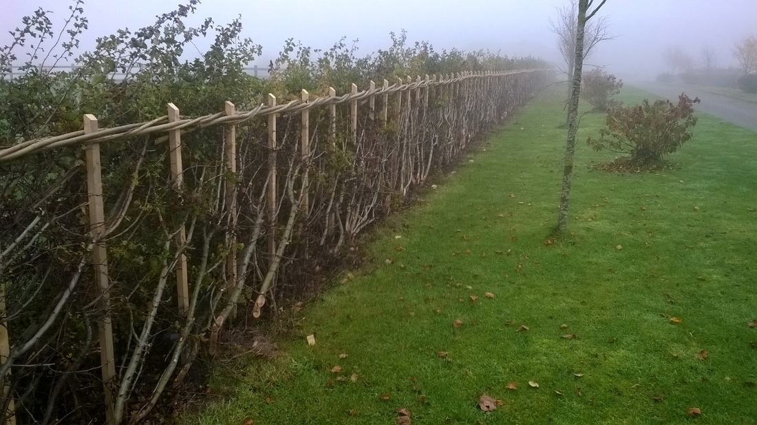 Hedge Laying in Northumberland